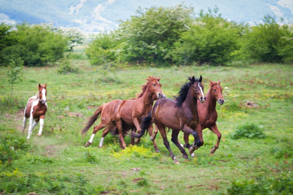 Falode-cavalli